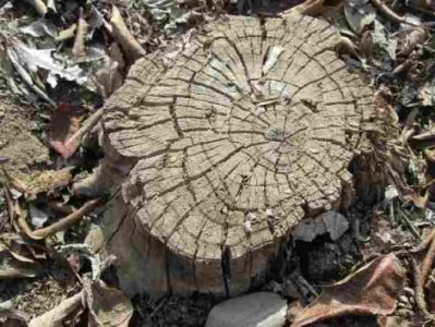 Dangerous Tree Stump